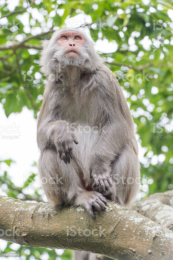 monkey(Macaque) stock photo
