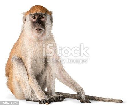 Monkey Sitting - Isolated
