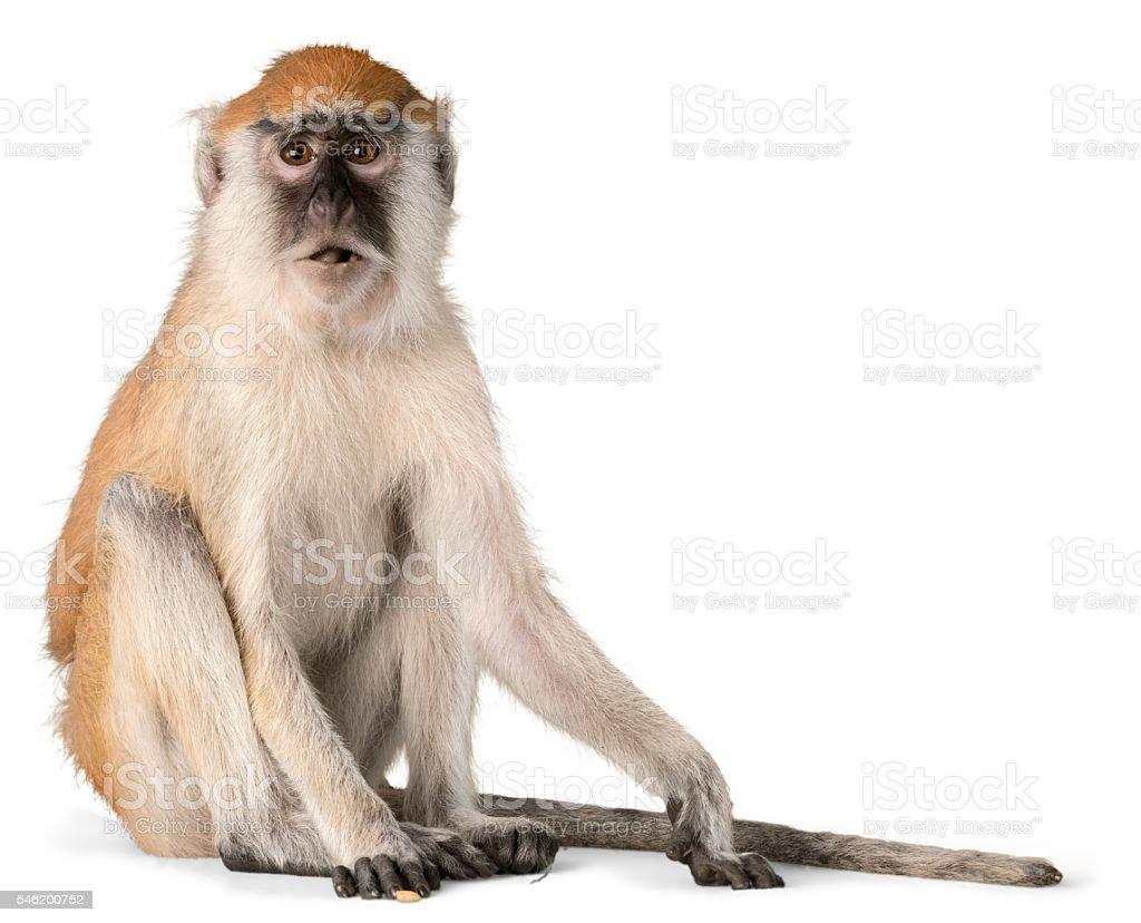 Macaco  - foto de acervo