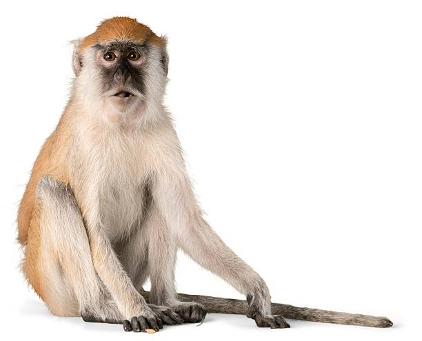 Monkey Monkey Sitting - Isolated primate stock pictures, royalty-free photos & images