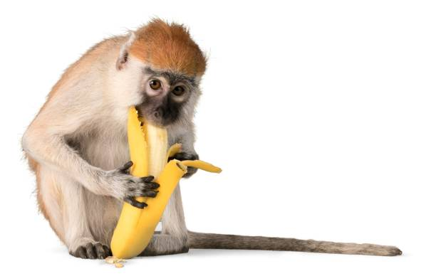 monkey. - ape stock pictures, royalty-free photos & images