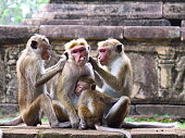 Monkey family together and grooming each other.