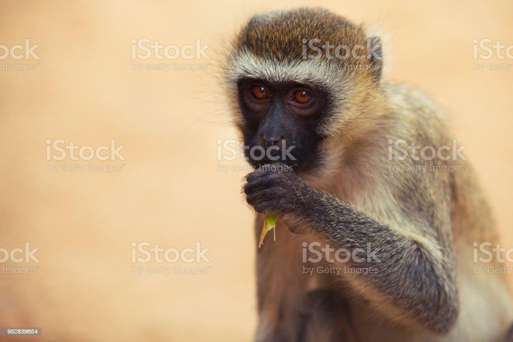 Scimmia stock photo