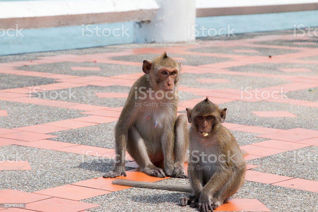 Monkey playing floor footpath stock photo