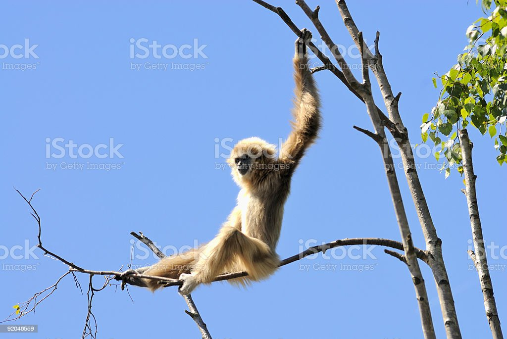 Monkey playing stock photo