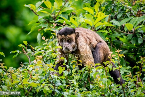 Close up of Black-Capped Capuchin, also known as Tufted Capuchin, in a tree canopy. This is one of the highly intelligent species of monkeys that we know to use tools as well.