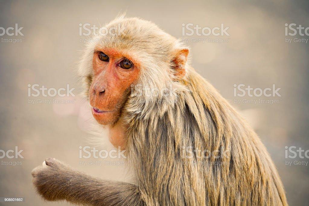 Monkey portrait. India stock photo
