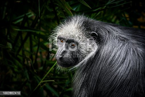 Close up of King Colobus monkey on a palm tree.