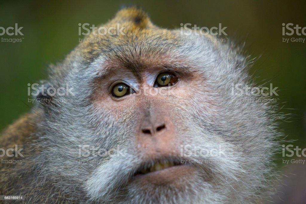 Monkey portrait royalty-free 스톡 사진