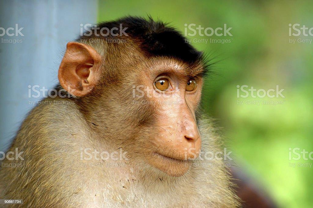 Monkey portrait royalty-free stock photo