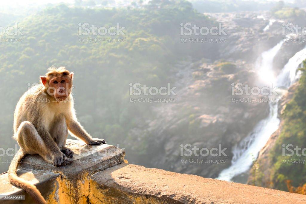 Monkey posing on Shimsa falls, India stock photo