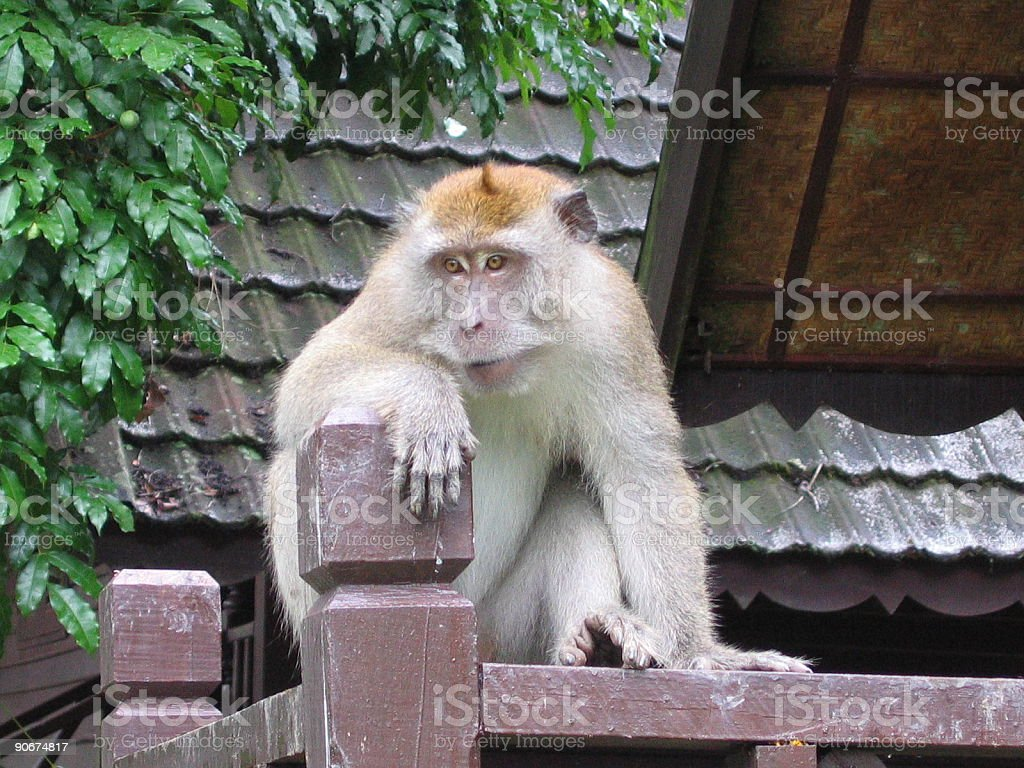 Monkey Posing royalty-free stock photo
