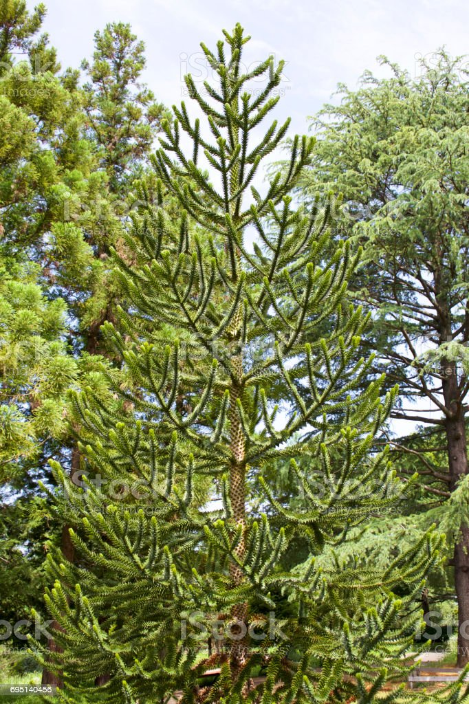 Monkey puzzle tree stock photo