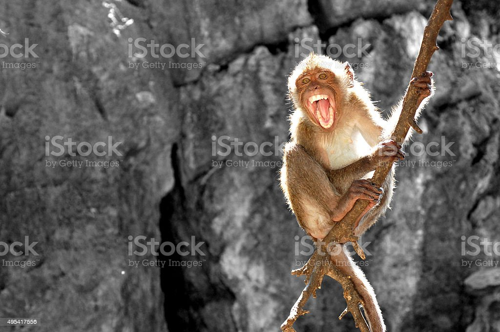 monkey raging and fierce on tree stock photo