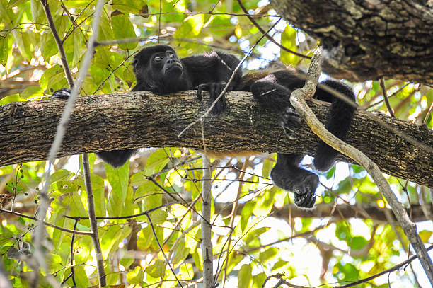 Monkey Rest Howler monkey rest on branch of tree near beach, Nosara, Costa Rica. nicoya peninsula stock pictures, royalty-free photos & images