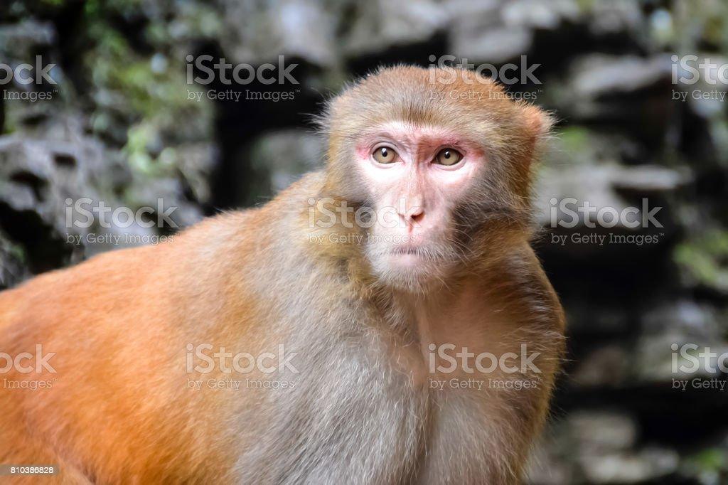 Monkey, Rhesus Macaque, Old World monkey, China stock photo