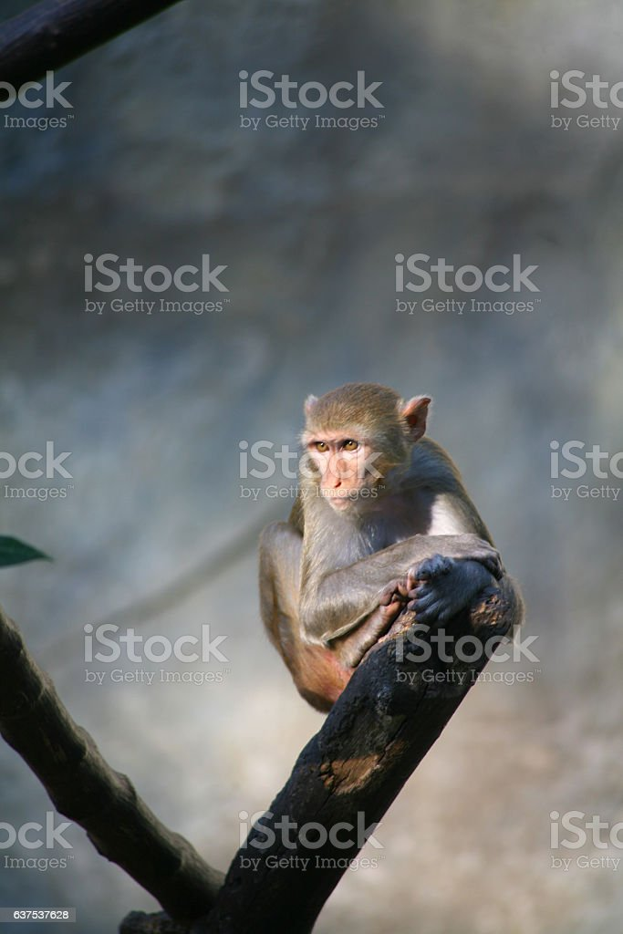 Monkey / Rhesus Macaque stock photo