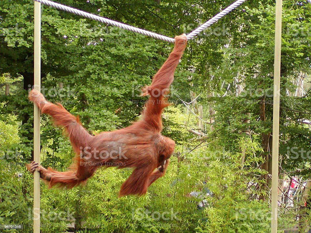 Monkey Rope royalty-free stock photo