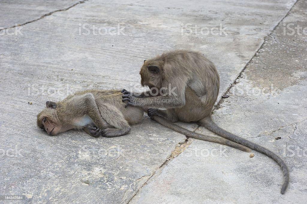 Monkey Searching Bottom stock photo