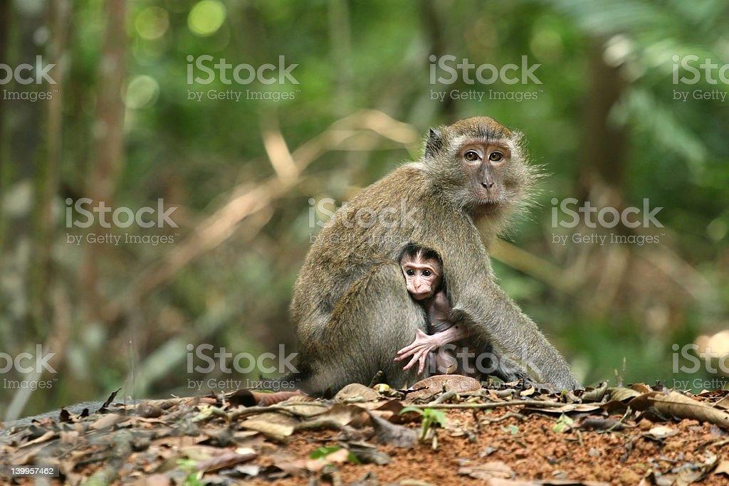 Monkey Series royalty-free stock photo