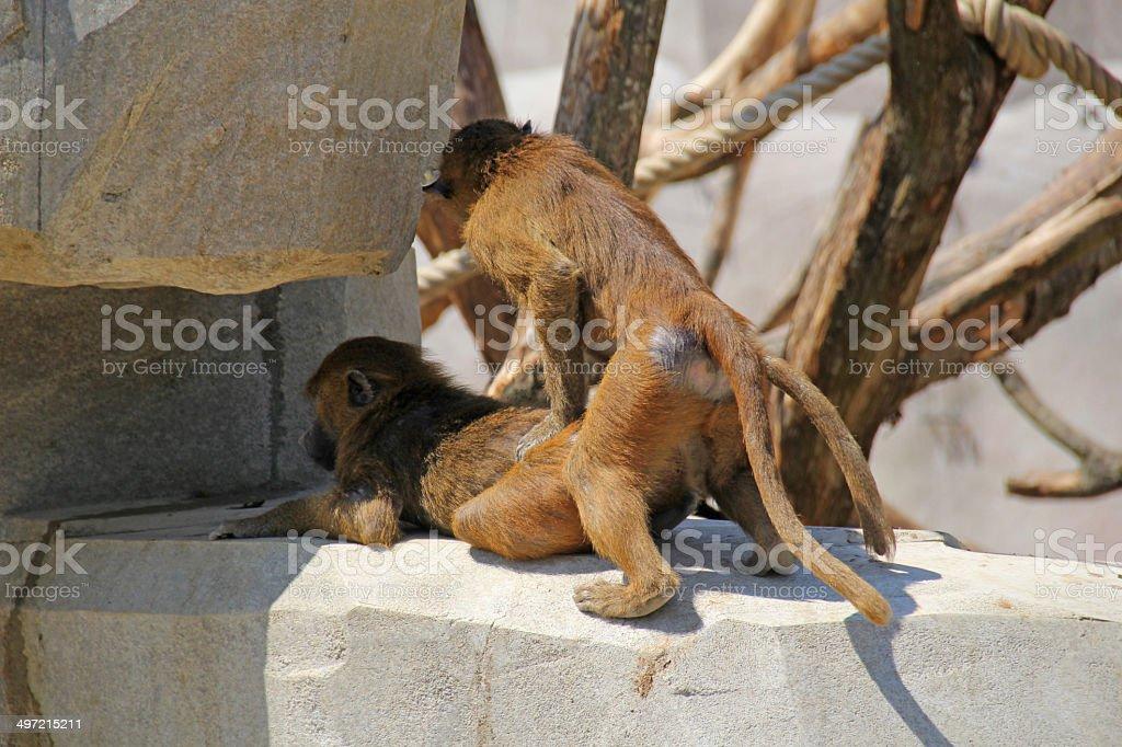 Monkey Sex Stock Photo - Download Image Now - iStock