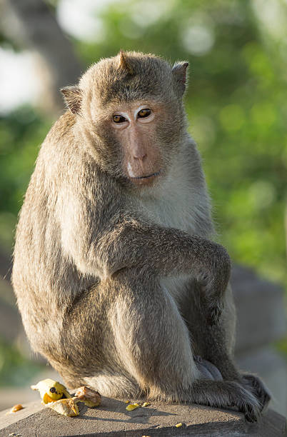 Monkey sit and look fixedly straight.Out of focus background. stock photo
