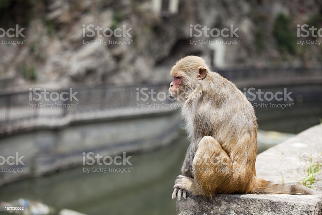 Monkey sitting by the river in Kathmandu royalty-free stock photo