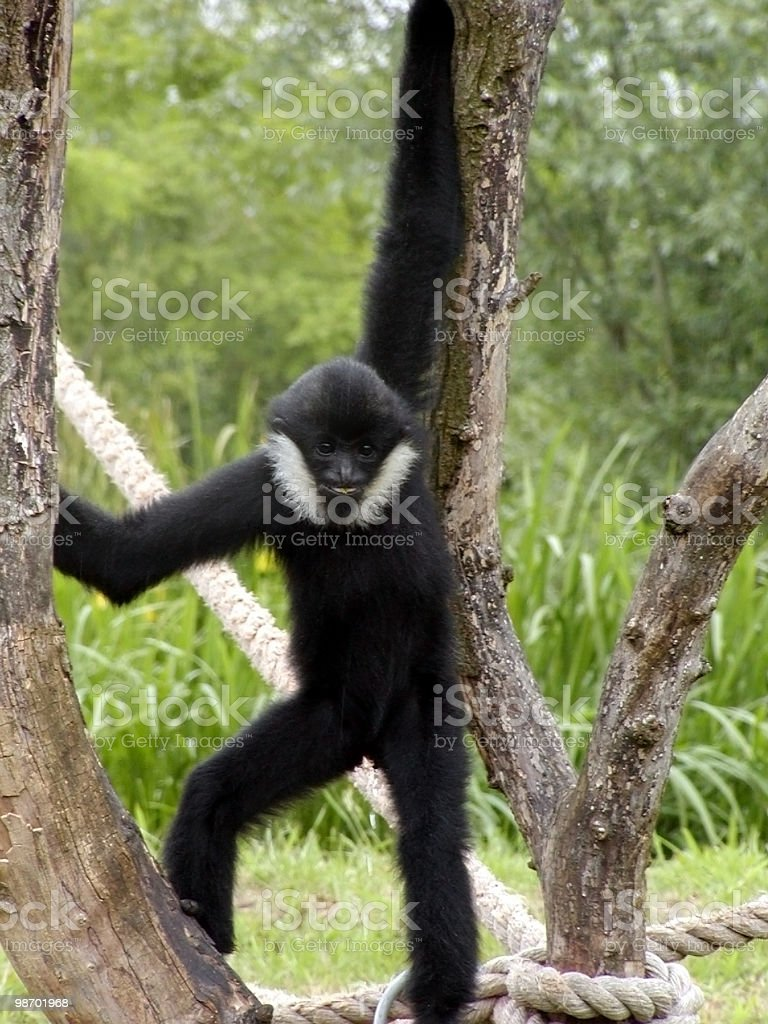Monkey Standing royalty-free stock photo