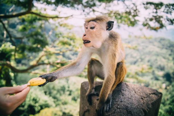 monkey takes banana from man stock photo
