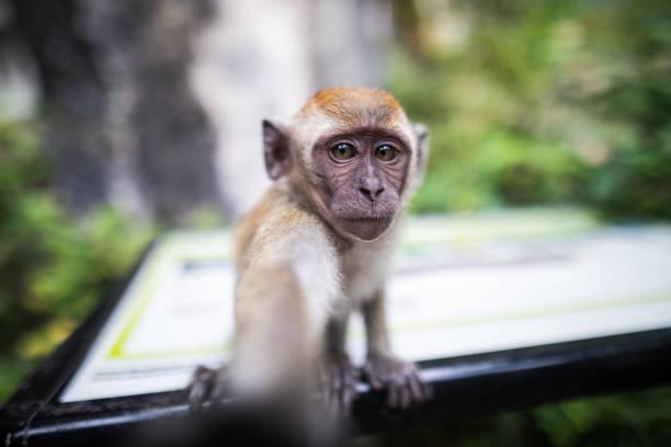 Monkey taking a selfie Monkey taking a selfie at the Batu caves, Selangor state, Malaysia kuala lumpur batu caves stock pictures, royalty-free photos & images