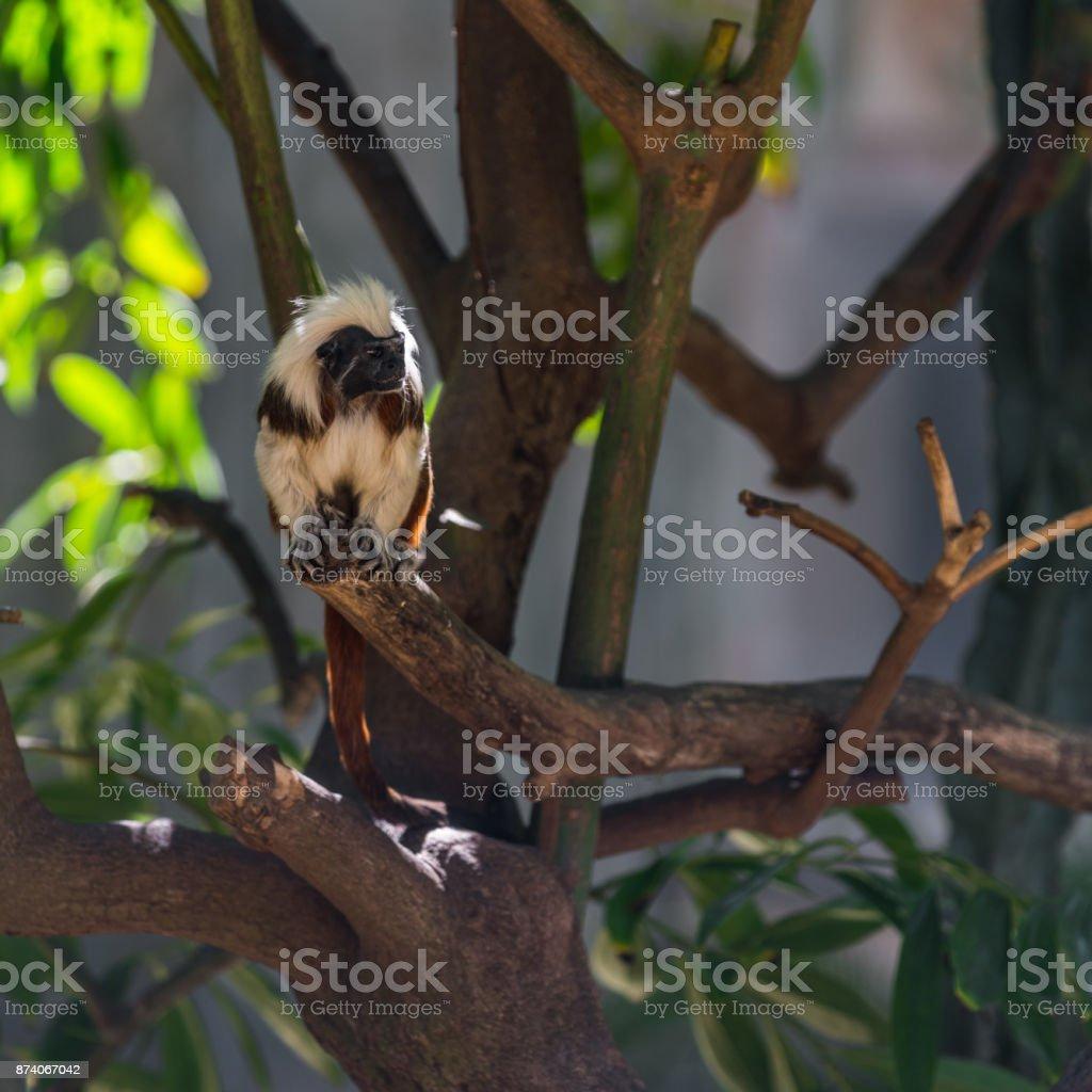 monkey tamarin sitting on a tree stock photo