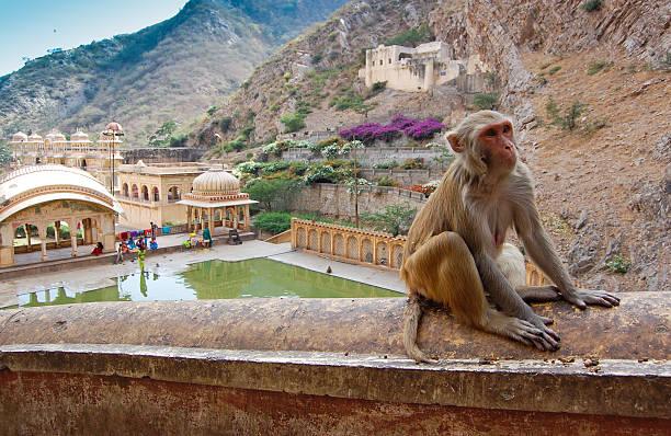 원숭이 관자놀이 주변 자이푸르, 계속하였습니다. 스톡 사진