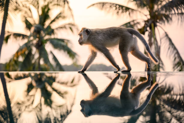 Monkey walking on the Pool Edge stock photo