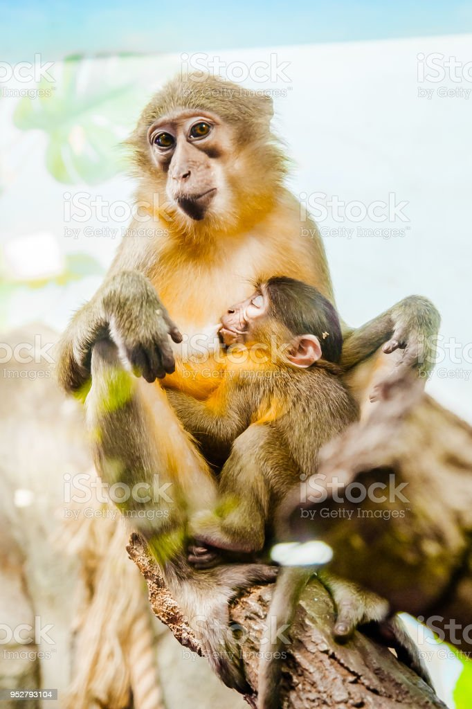monkey with a baby monkey on her chest stock photo