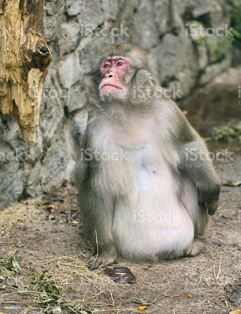 Monkey with a red face royalty-free stock photo