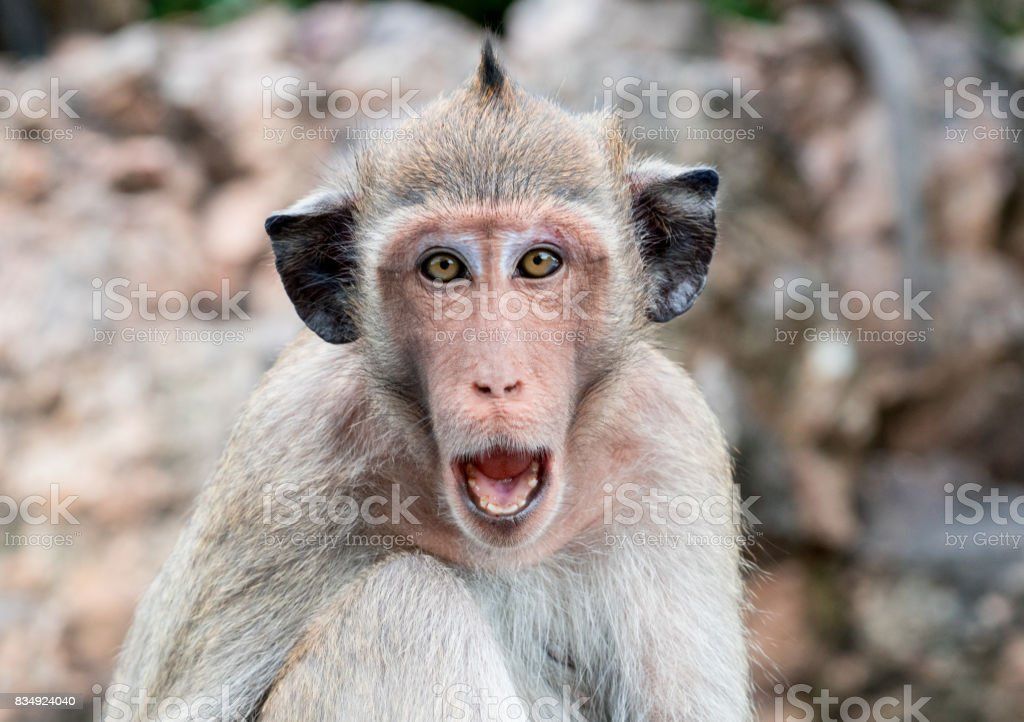 Monkey with black ears open mouth to threaten stock photo