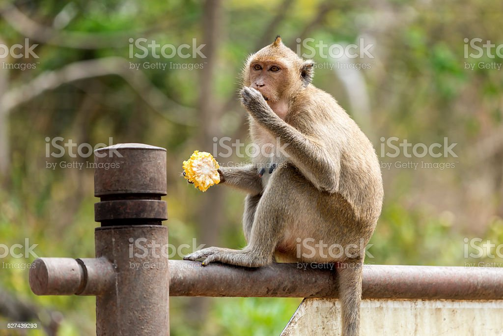 monkey with corncob stock photo