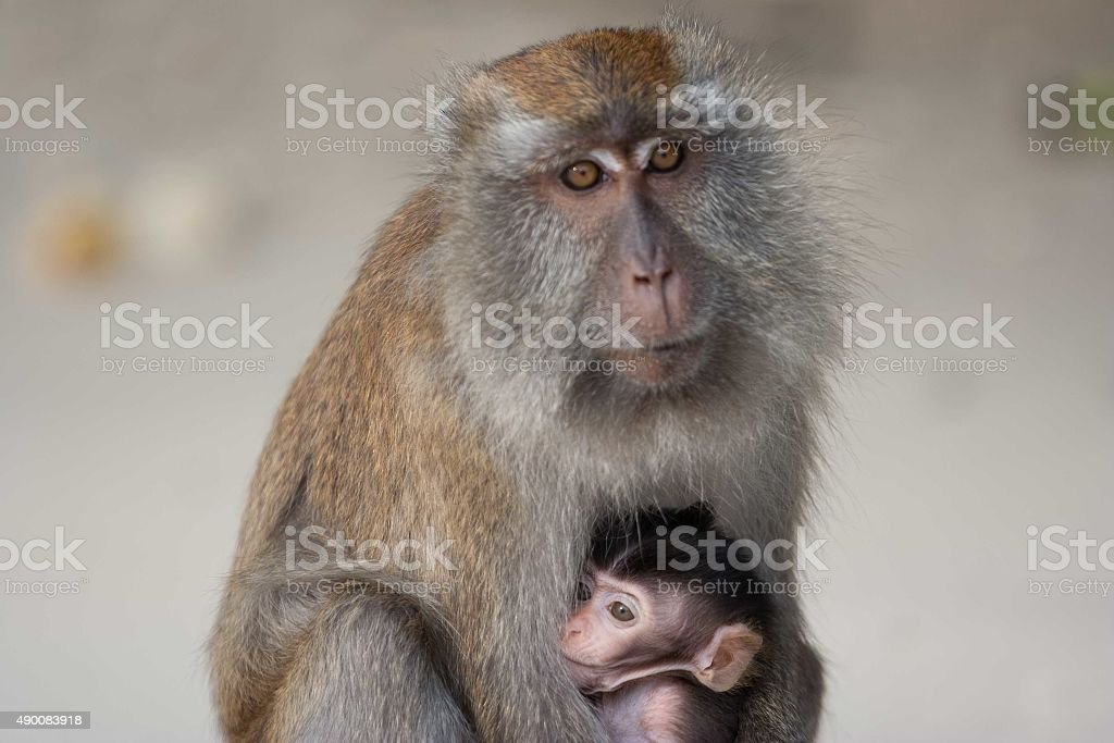 Monkey with the baby stock photo