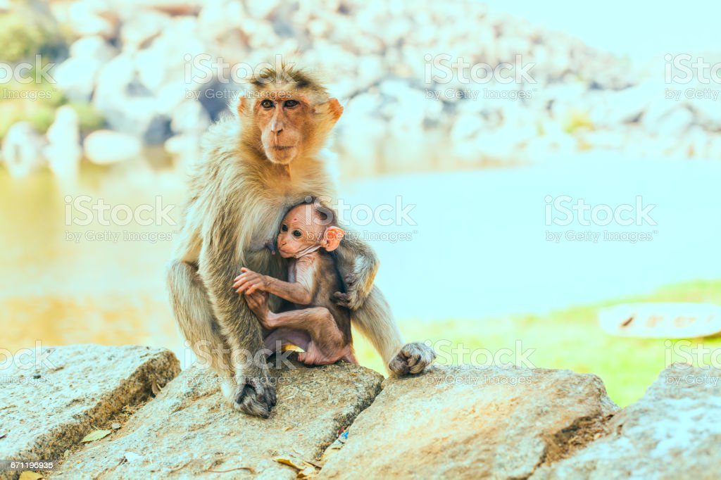 Monkey with the cub. Macaque and her baby stock photo