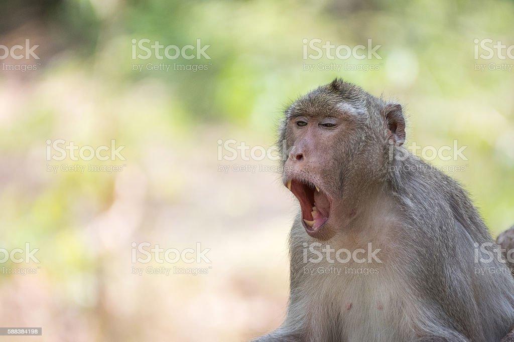 Monkey yawn stock photo