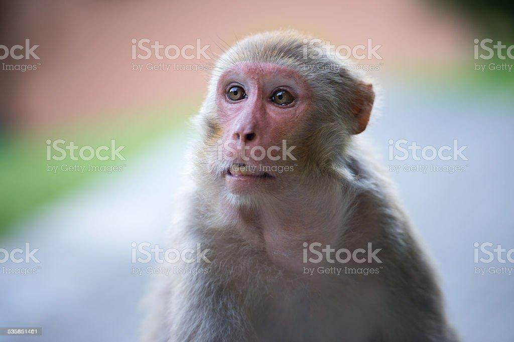 Monkey,Kathmandu, Nepal stock photo