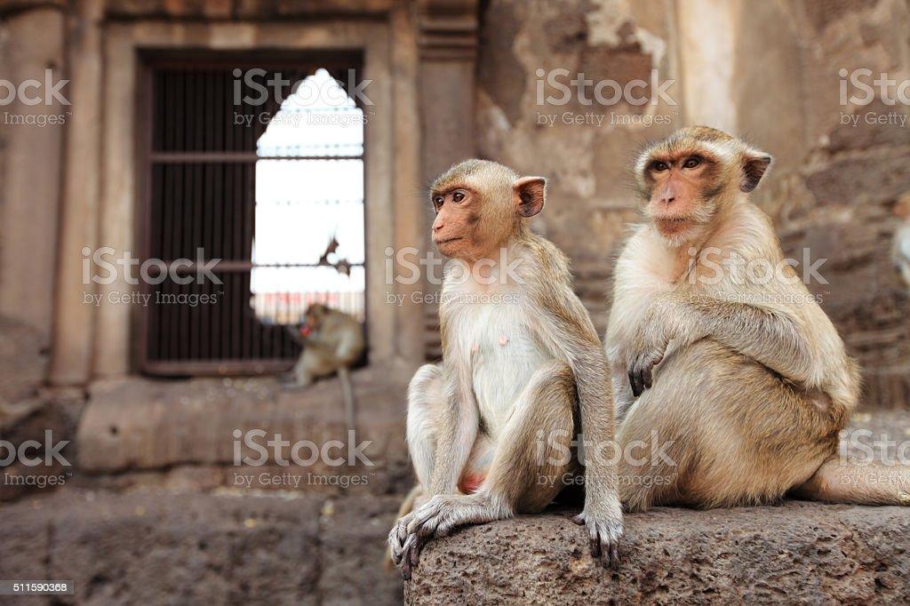 monkeys are curious,Lopburi, Thailand. stock photo