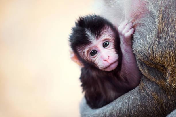 Monkeys at Angkor Wat, Cambodia stock photo
