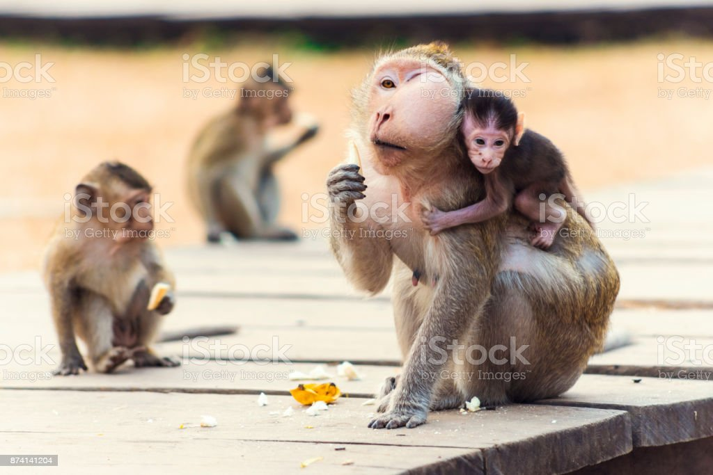 Monkeys at Angkor Wat, Cambodia stock photo