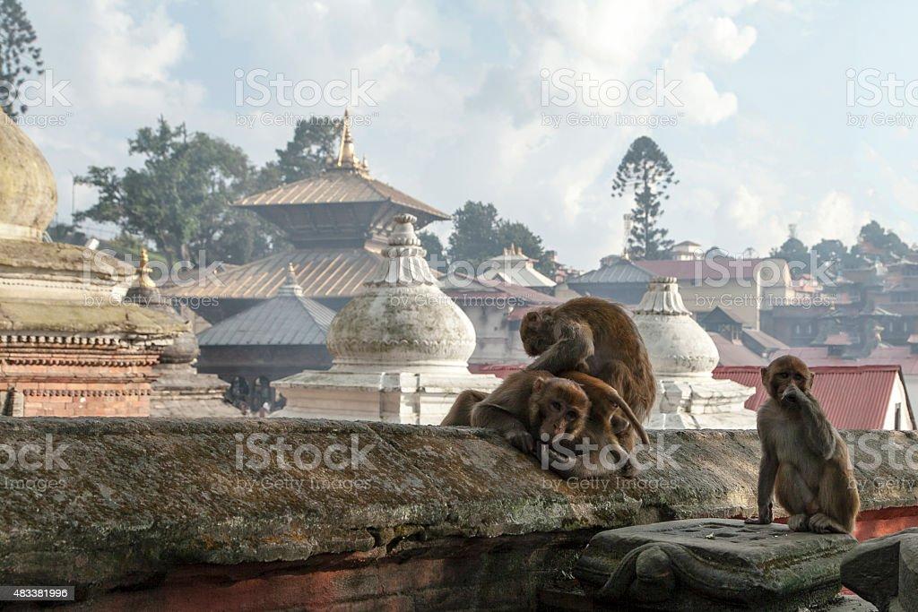 monkeys at Pashupatinath Temple stock photo