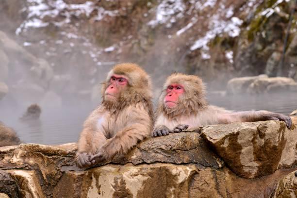 Affen in heißen Quellen baden – Foto