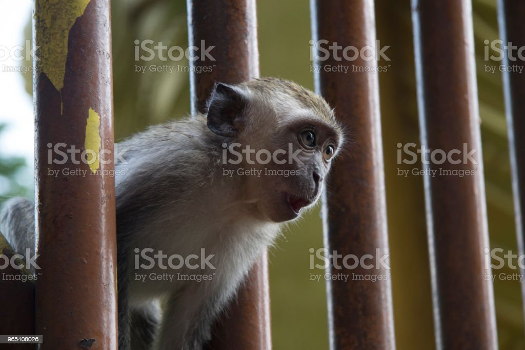 Monkeys Batu Caves royalty-free stock photo