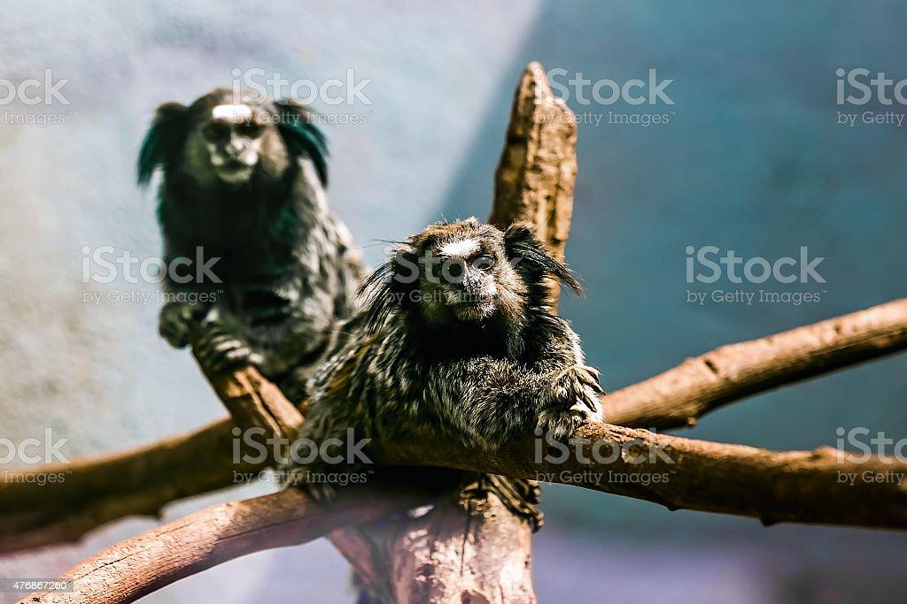 Monkeys black-tufted marmoset stock photo
