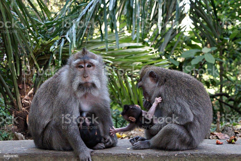 Monkeys brestfeeding cubs in Ubud, Bali stock photo
