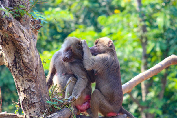 monkeys closeup group eating grass green monkeys group closeup grass walking closeup shot yala stock pictures, royalty-free photos & images